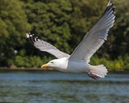 Blackpool Gull