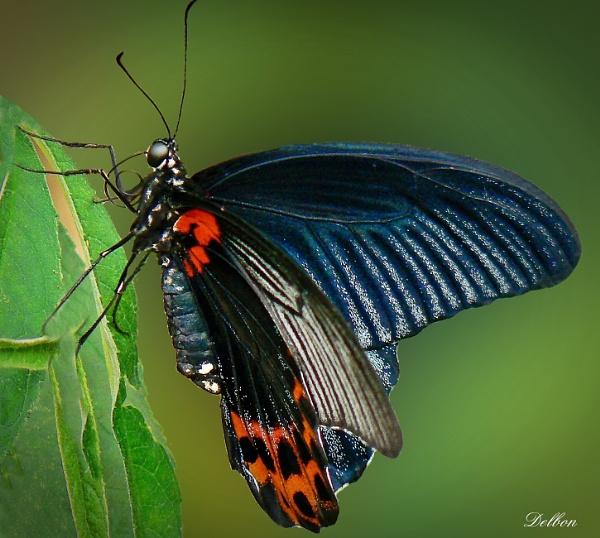 Papilio Memnon Butterfly by Delbon