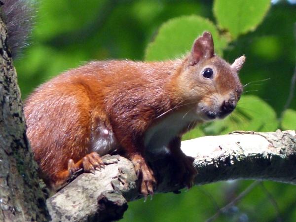 Red Squirrel by roymag