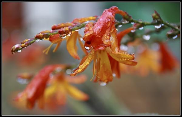 crocosmia crocosmiliflora by bazza21