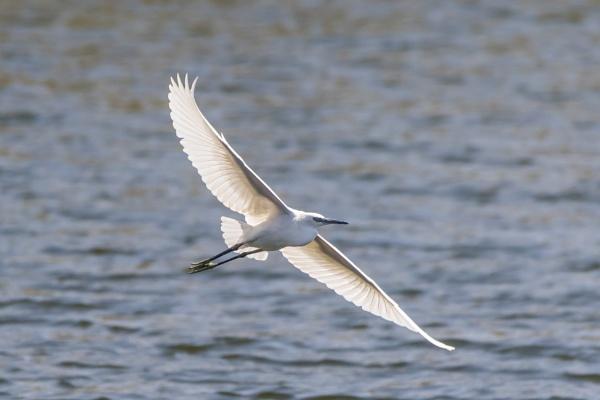 Little Egret by WorldInFocus