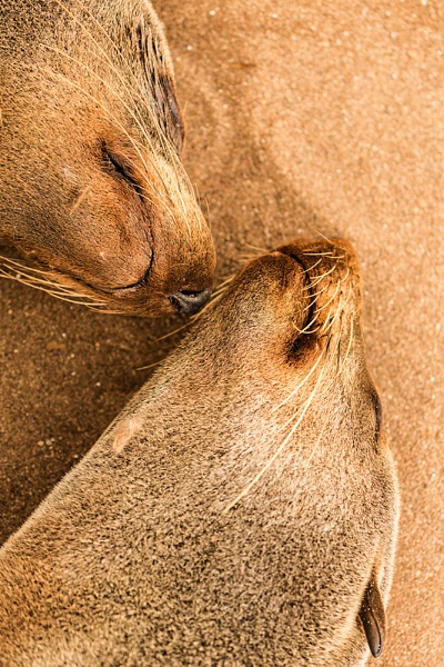 Nose to nose Cape Fur Seals by rontear