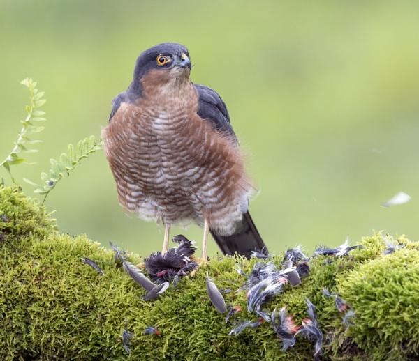 Male Sparrowhawk by hasslebladuk