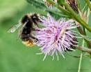 Bee by Alan_Baseley
