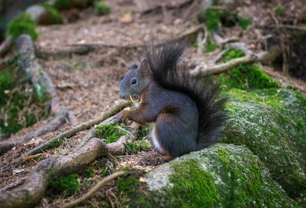 Black Forest Squirrel by jasonrwl