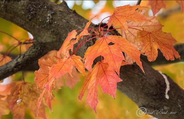 Autumn Leaves by DavidBird