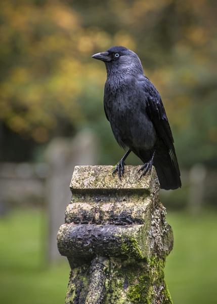 Graveyard Jackdaw by BydoR9