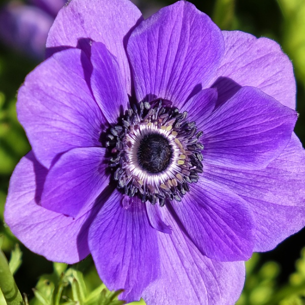 Purple Poppies by tedtoop