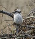 Laughing Kookaburra by abeeror2