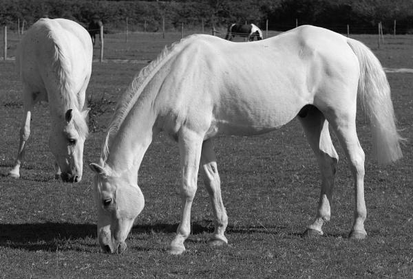 Definitely not Camargue Horses! by Holmewood