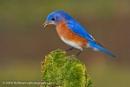 I got the blues - Eastern Bluebird by drbird