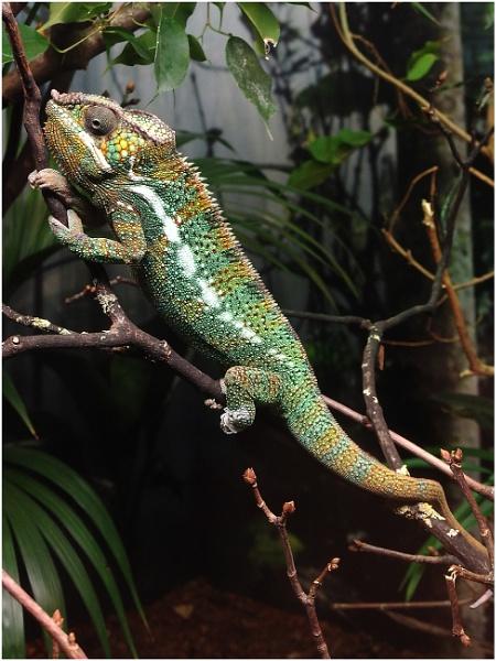 Panther Chameleon by johnriley1uk
