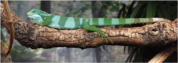 Fijian Banded Iguana by johnriley1uk