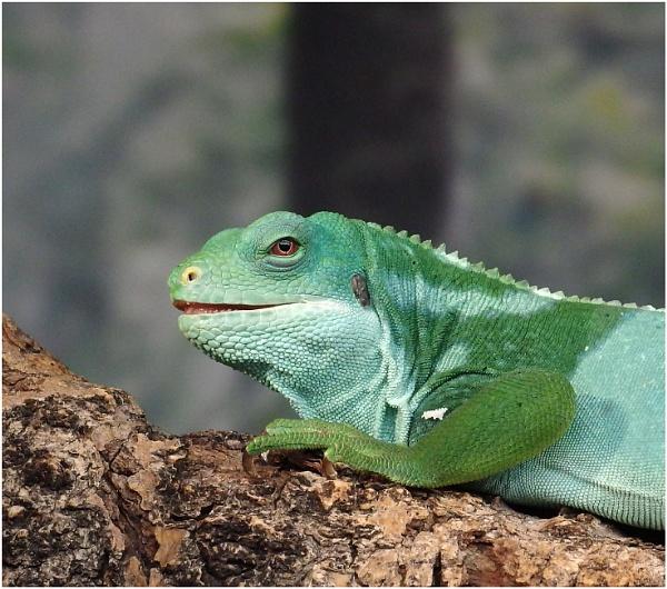 Fijian Banded Iguana Portrait by johnriley1uk