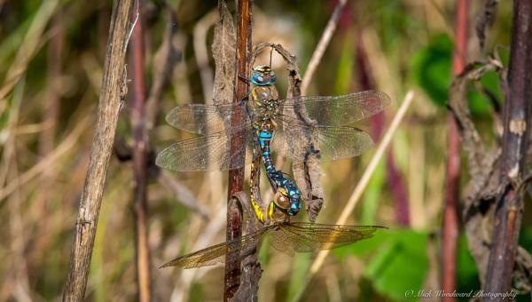 Dragonflies Mating by kojak
