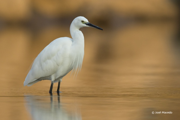 Little egret (Egretta garzetta) by lord_macedo