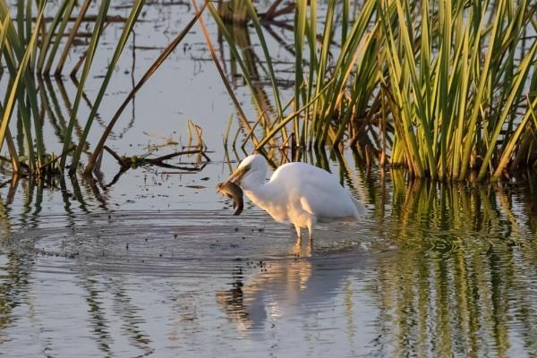 Egret by nobby1