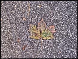 Maple Leaf in October