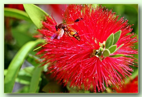 *** Red Powder Puff flower & Bee *** by Spkr51