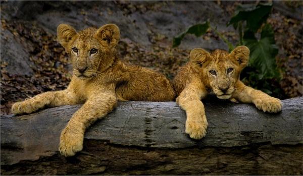 Cubs by BarryBeckham