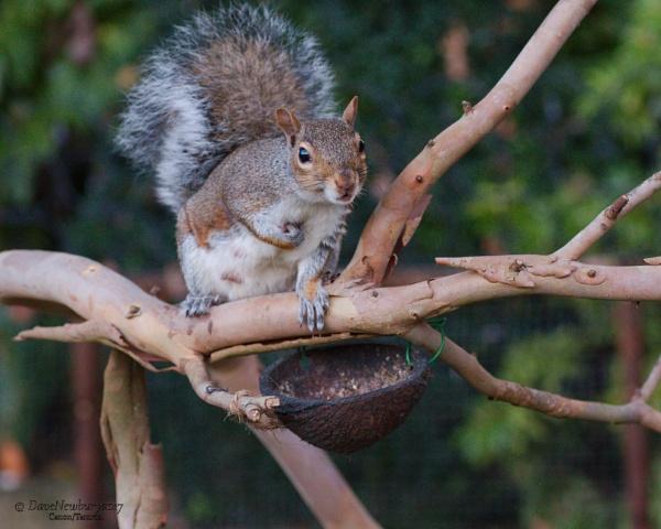 Grey Squirrel by DaveNewbury