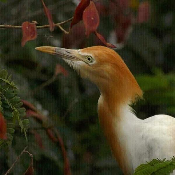 Adult egret by Karthiksiddhun