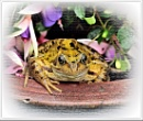 Frog. by bricurtis