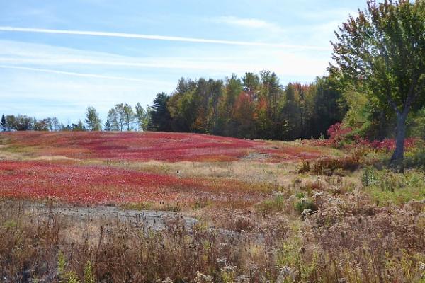 Blueberry Field by Joline