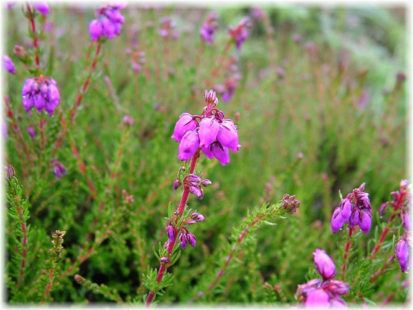 Bell Heather - Exmoor by HobbitDave