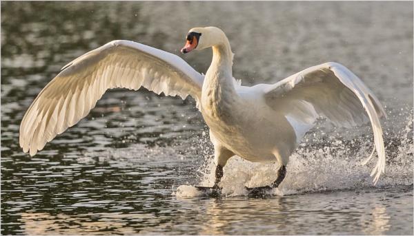 Swan Landing by mjparmy