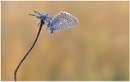 Common Blue. by NigelKiteley