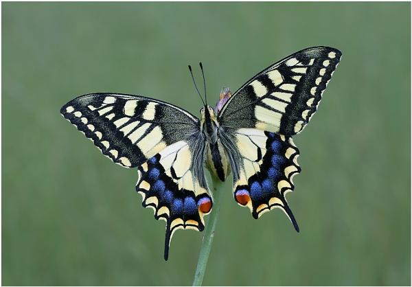 European Swallowtail by NigelKiteley