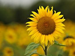 Flower of the sun.