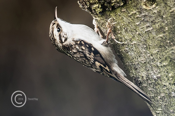 Treecreeper by DARPhotography