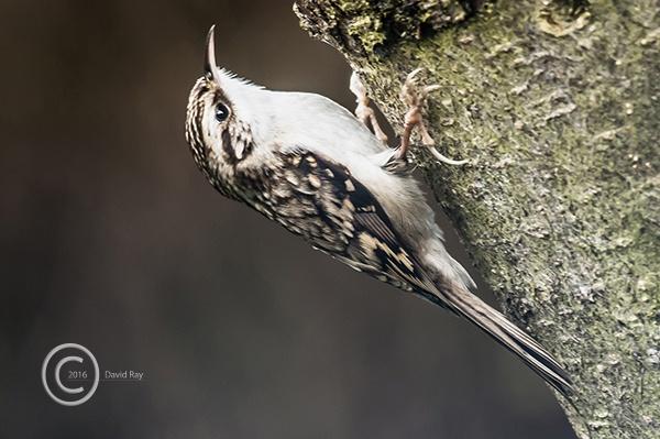 Treecreeper by DARPhotography
