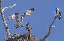 Nest building ospreys
