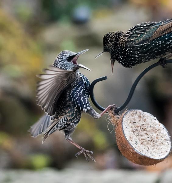 Starling Wars by jasonrwl