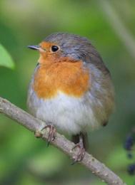 Robin in Elder Tree