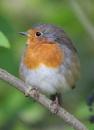Robin in Elder Tree by peterkin