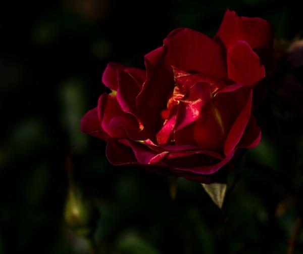 Dark red velvet. by Drighlynne