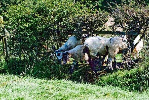 Sheep - Fold by Drighlynne