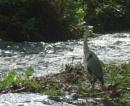 Heron at Respryn by JuBarney