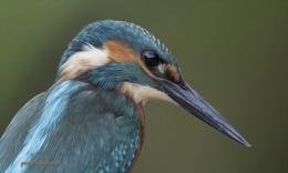 kingfisher oil