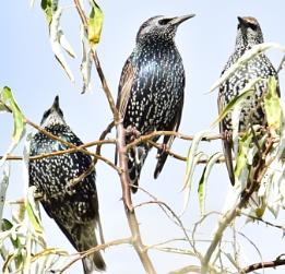Starling  Trio