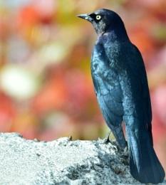 Blackie  looking  blue