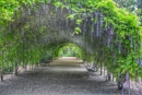Wisteria arbor by ColleenA