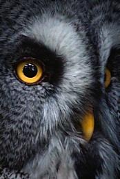 Photo : Great Grey Owl 2