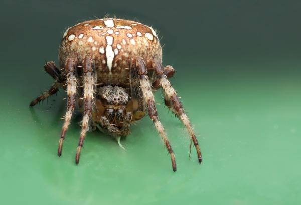 Araneus diadematus by Fogey