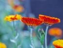Marigold by victorburnside