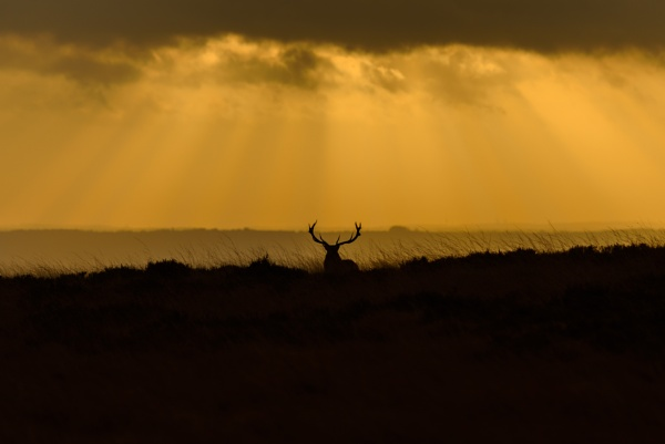 Deer at Sunrise by Kevin63